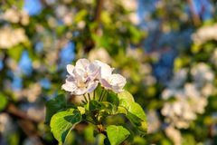 Branch of blossoming apple tree Stock Photo