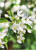 Branch blossoming apple-tree Stock Photos