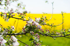 Branch of a blossoming apple tree Royalty Free Stock Image