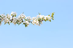 Branch blossoming apple-tree against the sky Royalty Free Stock Photo