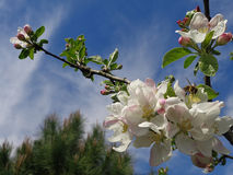 Branch blossoming apple tree at blue sky background. Bee on blooming apple tree branch Stock Images