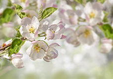 Branch of blossoming apple tree on blurred background Royalty Free Stock Photo