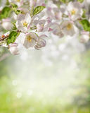 Branch of blossoming apple tree on blurred background Royalty Free Stock Image