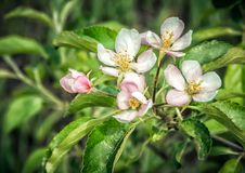 The branch of a blossoming apple tree Stock Photography