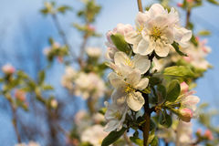 Branch blossoming apple-tree in the early morning. Harmony landscape Royalty Free Stock Photography