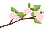 Branch of  blossoming apple tree Stock Photography