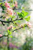 Branch of a blossoming apple tree in a garden Stock Photos
