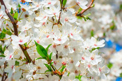 Branch of a blossoming apple tree on garden background Stock Photos