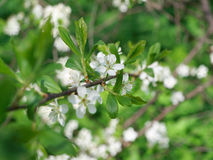 Branch of blossoming apple tree Stock Photos
