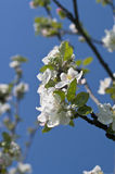 Branch of blossoming apple-tree in spring Stock Photos