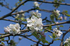 Branch of blossoming apple-tree in spring Royalty Free Stock Image