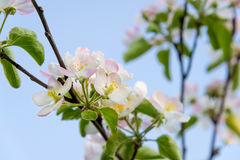 Branch of blossoming apple tree in spring Stock Photos