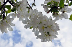Branch of a blossoming apple tree Stock Photography