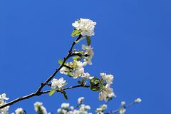 A branch of a blossoming apple tree stretching towards the sun royalty free stock photo