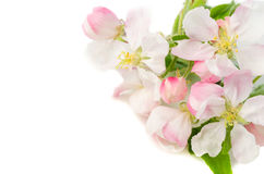 Branch of a blossoming apple-tree on a white background, close-u Stock Photo