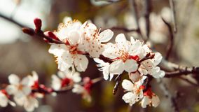 Branch of a blossoming apple tree with white flowers on a defocused background stock video footage