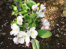 Branch of a blossoming apple tree Royalty Free Stock Images