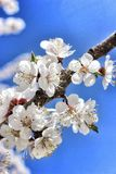 Branch of a blossoming apricot. On a background of blue sky close-up Royalty Free Stock Photos