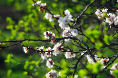 Branch of a blossoming apricot bright spring leaves. Stock Photography