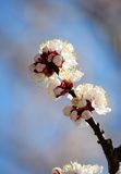 Branch of a blossoming apricot Royalty Free Stock Photos