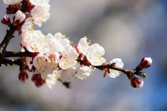 Branch of a blossoming apricot Stock Image