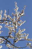Branch of blossoming apricot. Apricot flowers on a background of sky Stock Photo