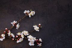 Branch of blossoming apricot on grunge background . shallow depth of field Stock Photo