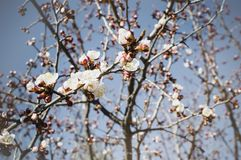A branch of a blossoming apricot on a sky background in a spring sunny day royalty free stock photography