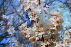 Branch of a blossoming apricot tree Royalty Free Stock Image