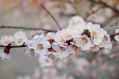 Branch of a blossoming apricot tree. stock image
