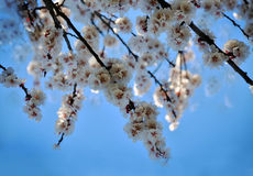 Branch of a blossoming apricot tree Royalty Free Stock Photo