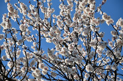Branch of a blossoming apricot tree Stock Photos