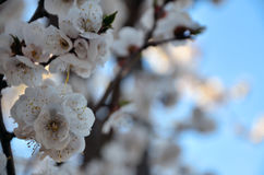 Branch of a blossoming apricot tree Stock Image