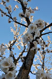 Branch of a blossoming apricot tree Royalty Free Stock Photos