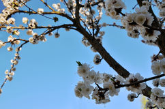Branch of a blossoming apricot tree Royalty Free Stock Photography