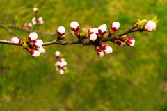branch of blossoming apricots on grass background royalty free stock photos