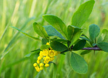 A branch of a blossoming of barberry. Green grass Stock Images