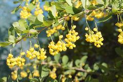 Branch of the blossoming barberry in a spring Stock Photography