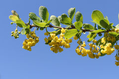 Branch of the blossoming barberry in a spring garden Stock Image