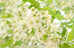 Branch of a blossoming bird cherry Royalty Free Stock Photo