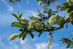 Branch of a blossoming bird cherry against the sky Stock Image