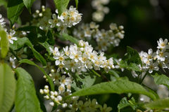 Branch of the blossoming bird cherry Stock Photos
