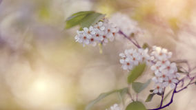 Branch of the blossoming bird cherry Royalty Free Stock Photos