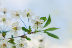 Branch of the blossoming bird cherry tree Stock Images