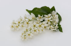 A branch of blossoming bird cherry Stock Image