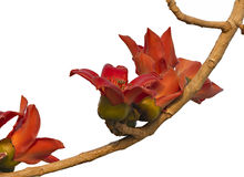 A branch of blossoming Bombax ceiba tree or Red Silk Cotton Flower Stock Image