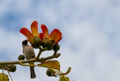 Branch of blossoming Bombax ceiba tree royalty free stock photography