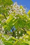Branch of the blossoming catalpa common Catalpa bignonioides Wa. Lter Stock Photos