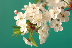 Branch of a blossoming cherry Stock Photo