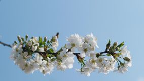 A branch of blossoming cherry against a blue sky stock video